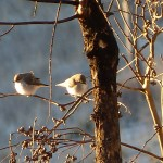 P1100112 Wrens On Branch full size
