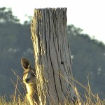 P1650355 kangaroo behind post